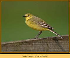 yellow-wagtail-05.jpg