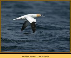 gannet-35.jpg