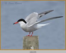 common-tern-24.jpg