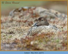 eider-duck- 77.jpg
