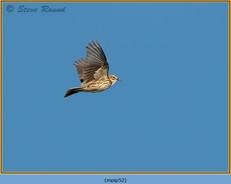 meadow-pipit-52.jpg