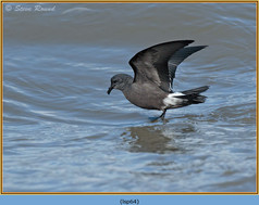 leach_s-storm-petrel-64.jpg