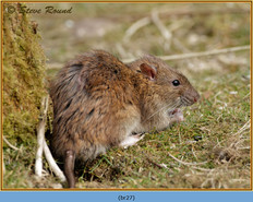 brown-rat-27.jpg