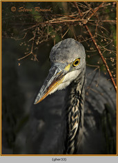 grey-heron-33.jpg