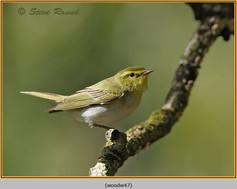 wood-warbler-47.jpg