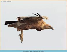griffon-vulture-84.jpg