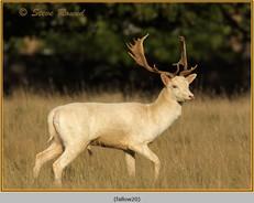 fallow-deer-20.jpg