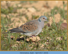 turtle-dove-10.jpg