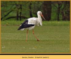 white-stork-11.jpg