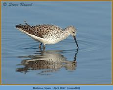 marsh-sandpiper-10.jpg