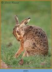 brown-hare-87.jpg