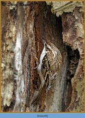 treecreeper-49.jpg