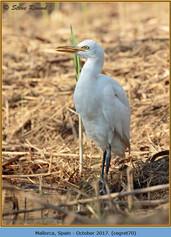 cattle-egret-80.jpg