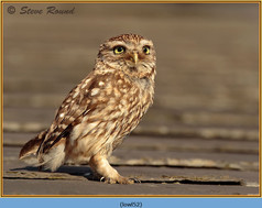 little-owl-52.jpg