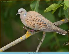 turtle-dove-25.jpg