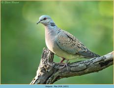 turtle-dove-21.jpg