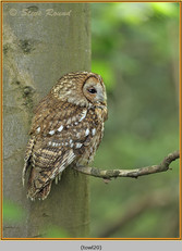 tawny-owl-20.jpg
