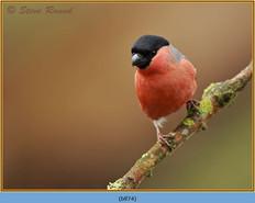 bullfinch-74.jpg