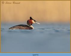 great-crested-grebe-75.jpg