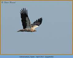 egyptian-vulture-06.jpg