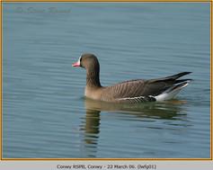 lesser-w-f-goose-01.jpg