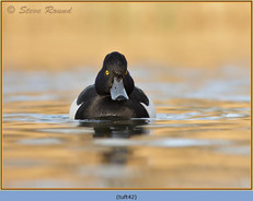 tufted-duck-42.jpg