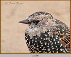starling-34.jpg