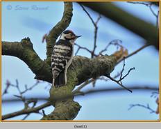 lesser-spotted-woodpecker-01.jpg