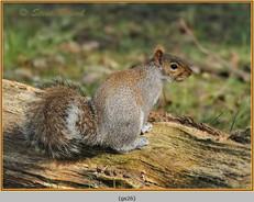 grey-squirrel-26.jpg
