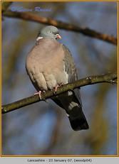 wood-pigeon-04.jpg