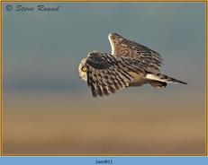short-eared-owl-81.jpg