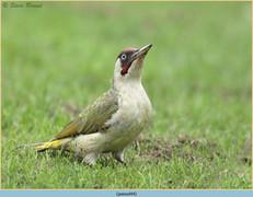 green-woodpecker-44.jpg