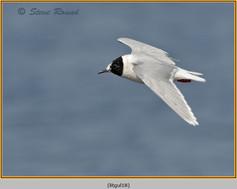 little-gull-18.jpg
