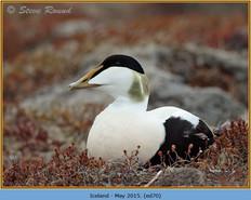 eider-duck- 70.jpg