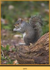 grey-squirrel-3.jpg