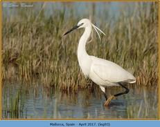 little-egret-93.jpg