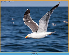 lesser-black-backed-gull-118.jpg