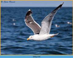 lesser-black-backed-gull-118.jpg