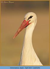 white-stork-29.jpg