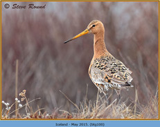 black-tailed-godwit-100.jpg
