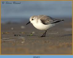 sanderling-61.jpg