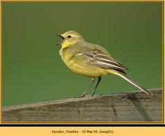 yellow-wagtail-01.jpg