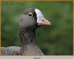 lesser-white-fronted-goose-04c.jpg