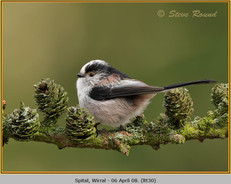 long-tailed-tit-30.jpg
