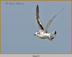 little-gull-27.jpg