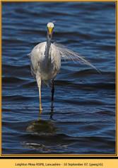 great-white-egret-16.jpg