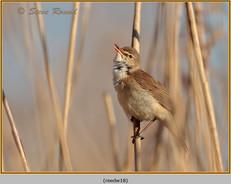 reed-warbler-18.jpg