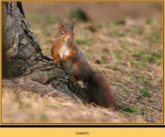 red-squirrel-05.jpg