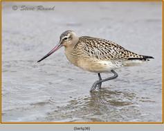 bar-tailed-godwit-38.jpg