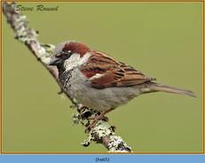 house-sparrow-65.jpg